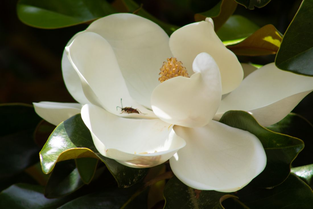 Magnolia with Bug